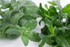 Mistura erval verde de ervas da hortelã fresca e do melissa imagem de stock