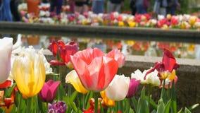 A mistura pitoresca de flores multi-coloridas das tulipas floresce na reflexão do jardim da mola na água Flor decorativa da tulip vídeos de arquivo