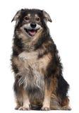 Misturado-produza o cão, 12 anos velho Fotografia de Stock Royalty Free