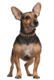Misturado-produza o cão, 5 anos velho, posição Imagem de Stock Royalty Free