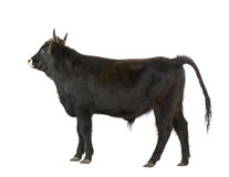Mistvieh - auroch Stockfoto