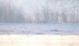 Misty και παγωμένο τοπίο με την κόκκινη αλεπού (Vulpes vulpes) Στοκ Φωτογραφία