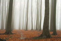 Misty autumn beech forest. Ground covered by fallen leaves Stock Photos