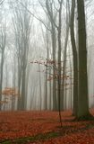 Misty autumn beech forest. Ground covered by fallen leaves Royalty Free Stock Photo