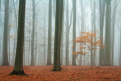 Misty autumn beech forest. Ground covered by fallen leaves stock images