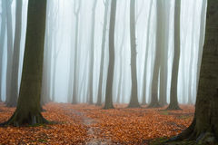 Misty autumn beech forest Royalty Free Stock Photography