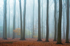 Misty autumn beech forest Stock Photo