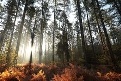 Free Misty Autumn Coniferous Forest At Sunrise Coniferous Forest In The Sunshine Morning Fog Surrounds The Pine Trees Lit By The Rays Stock Photography - 139299102