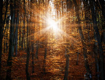 Misty autumn fores royalty free stock photography