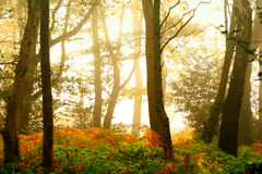 Misty autumn forest Royalty Free Stock Images