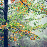 Misty autumn forest Royalty Free Stock Photos