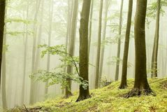 Misty autumn forest in the early morning Royalty Free Stock Photography