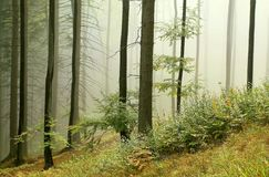 Misty autumn forest in the early morning Royalty Free Stock Image