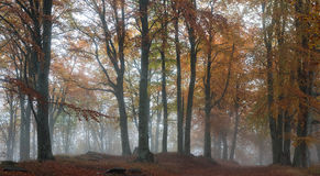 Misty autumn forest Royalty Free Stock Photo