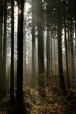Misty autumn forest in rays of light. Pine forest with small path in fall with the sunbeams making the way through the trees. Morning mist and sunlight creating Stock Image