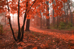 Misty autumn forest with red foliage Stock Photos