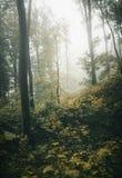 Misty autumn forest Stock Image