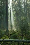 Misty autumn morning in coniferous stand Stock Photography