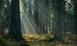 Misty autumn morning in coniferous stand Royalty Free Stock Images