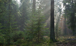 Misty autumn morning in coniferous stand Stock Images