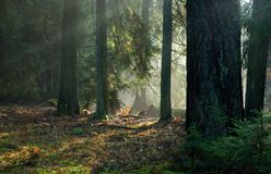 Misty autumnal coniferous stand Royalty Free Stock Photo