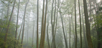 Misty autumnal morning and natural alder forest Stock Photography