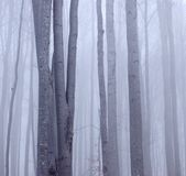 Misty beech forest. Tall tree trunks in a misty beech forest stock image