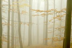 Misty beech forest in autumn Stock Photography