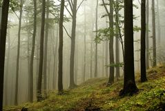 Misty beech forest in autumn. Forest of beech trees in the fog Royalty Free Stock Image