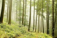 Misty beech forest in the mountains. At the beginning of autumn season Royalty Free Stock Photo