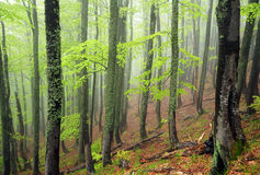 Misty beech-tree forest. Beech-tree forest in fog with vivid green foliage Royalty Free Stock Images