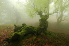 Misty beech wood in Orozko Royalty Free Stock Images