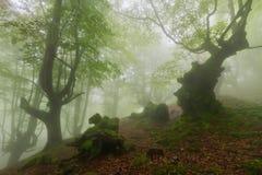 Misty beech wood in Orozko Stock Images