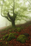 Misty beech wood in Orozko Stock Photo