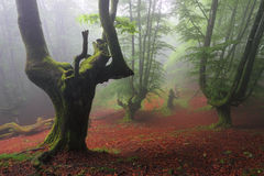 Misty beech wood in Orozko (Biscay, Basque Country) Royalty Free Stock Photography