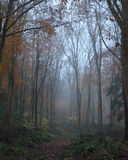 Misty beech woodland Stock Photography