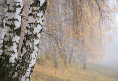 Misty birch grove Stock Photo