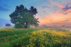 Misty blooming meadow. Summer nature in the morning. Misty blooming meadow. Colorful vibrant summer landscape Royalty Free Stock Photography