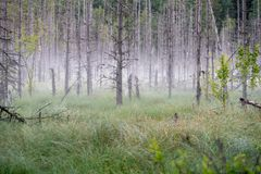 Misty bog. With old trees royalty free stock photography