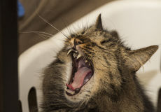 Misty Cat Yawning in A Basket! Royalty Free Stock Image
