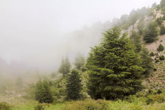 Misty cedar forest Royalty Free Stock Images