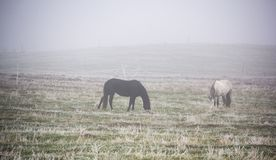 Horses grazing in the mist. Autumn foggy morning. Misty countryside landscape with horses in meadow Stock Photography