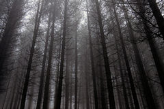 Misty and dark pine woods Royalty Free Stock Image