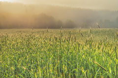 Misty dawn in a field of wheat. Stock Photos