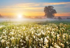 Misty Dawn On A Beautiful Field With Dandelions. Summer Rural Landscape. Stock Images