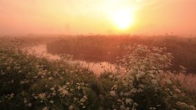 Misty dawn on the river bank with beautiful flowers stock video