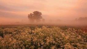 Misty dawn on the river bank with beautiful flowers stock video footage