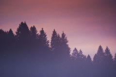Misty day. The mist all over the top of some pine trees at dawn Stock Photos