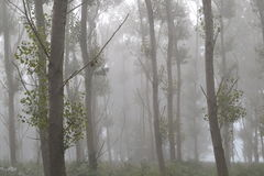 Misty day in a poplar wood Royalty Free Stock Photography