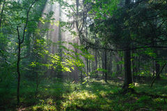 Misty deciduous stand in morning Royalty Free Stock Photos